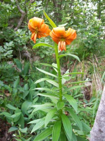 oranje bloemlilium cariolicum