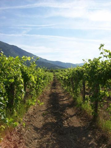 Wijngaard Vrhpolje