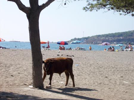 Koe op strand