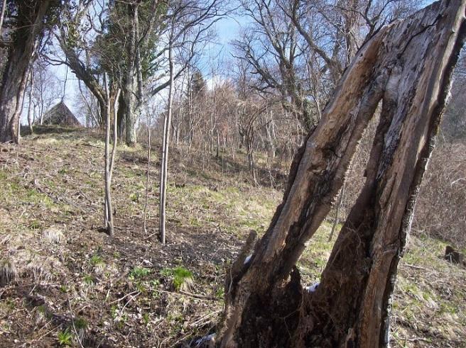 oude notenboom blijft liggen voor onze gevleugelde tuinbewoners,  linksachter zijn opvolger(tje)