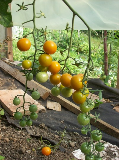 8 soorten tomaten in de moestuin! Onder andere deze kerstomaatjes.