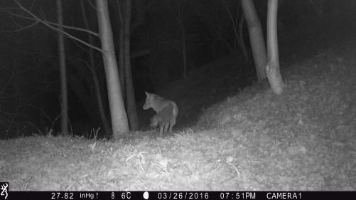 """Naar goeie gewoonte houdt deze vos onze """"groentewinkel"""" vanuit het bos in de gaten."""